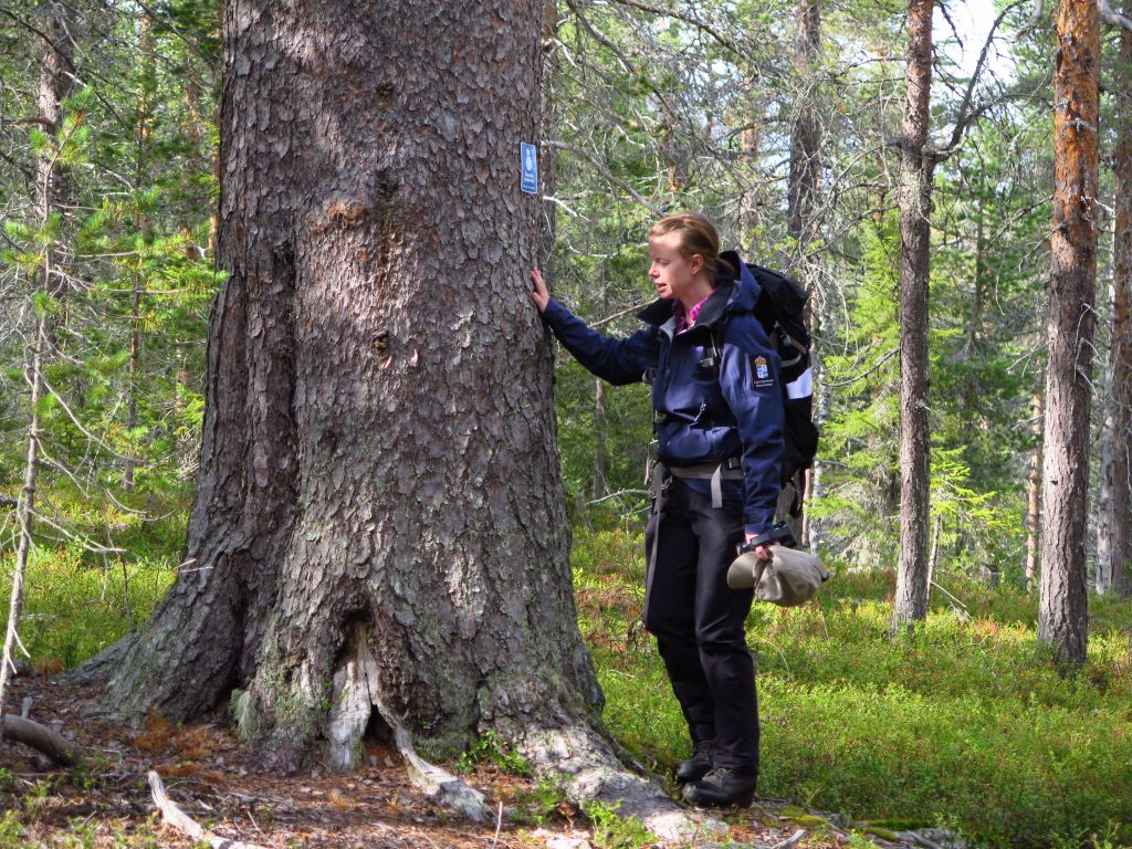 Person standing next to large, old pine tree